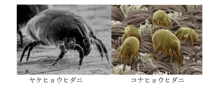 ヤケヒョウダニとコヒョウダニ