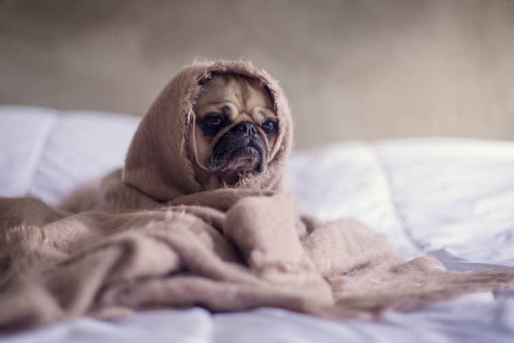 ベッドに寝ている犬